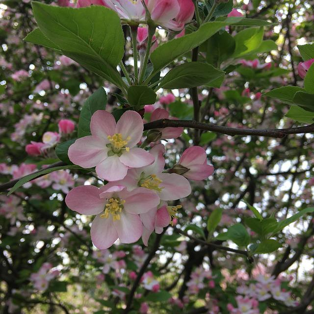 Flower, Plant, Branch, Petal, Tree, Apple, Spring