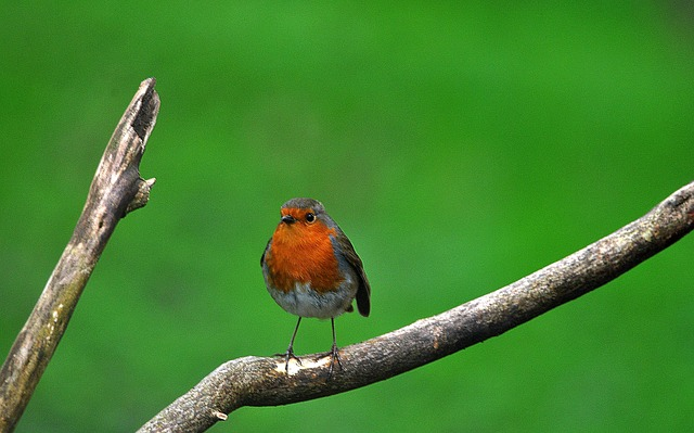 Branch, Tree, Robin