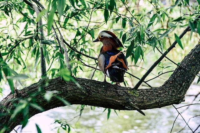 Mandarin Ducks, Water Bird, Duck, Tree, Branch, Sit