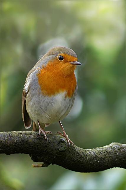 Bird, Robin, Erithacus Rubecula, Branch, Winter