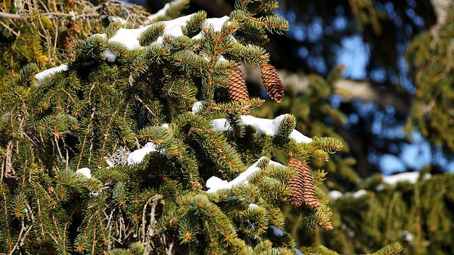 Tree, Nature, Winter, Plant, Branch, Needle