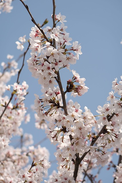 Cherry Blossoms, Wood, Flowers, Branch, Seasonal, Plant