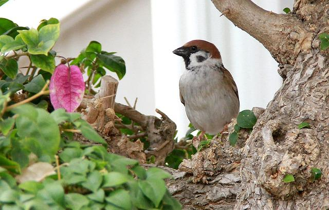 Sparrow, Birds, Bougainvillea, Green, Red, Branches