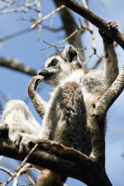 Lemur, Mammal, Tree, Branches, Outdoors, Natural
