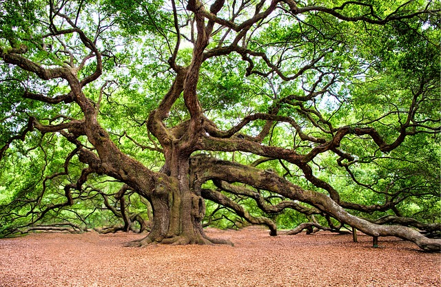 Oak Tree, Tree, Huge, Old, Charleston, Nature, Branches