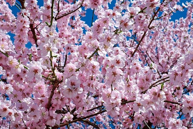 Japanese Cherry Blossom, Flowers, Tree, Branches