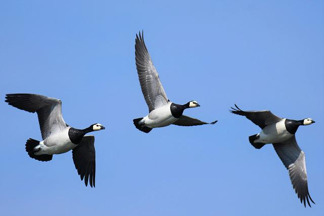 Branta Leucopsis, Barnacle Goose, Bird, Animal World