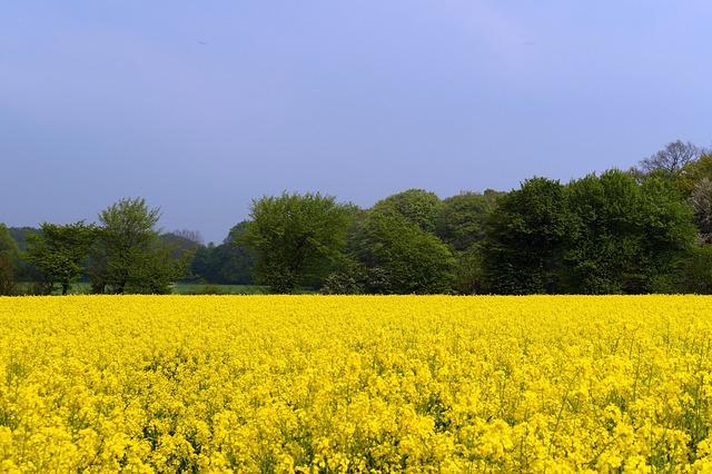 Field Of Rapeseeds, Oilseed Rape, Brassica Napus, Crop