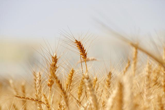 Wheat, Bread, Cereal, Rye, Straw, Crop, Seed, Corn