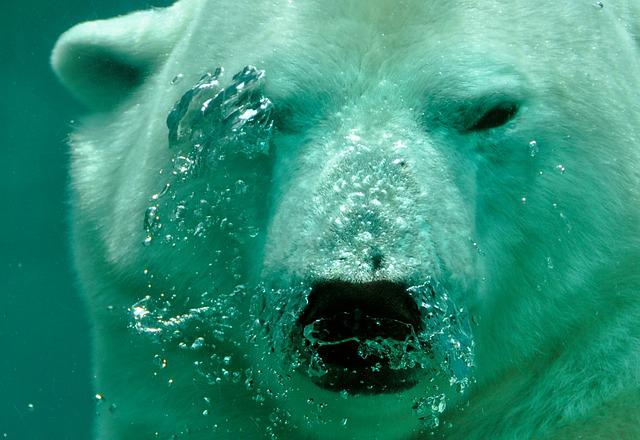 Polar Bear, Bear, Breath, Air Bubbles, Submerged, Water