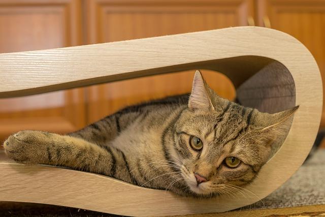 Cat, European Shorthair, Race, Breed Cat, Small