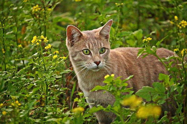 Cat, Mieze, Breed Cat, Flowers, Mustard, Field, Kitten