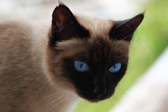 Siam, Siamese Cat, Cat, Domestic Cat, Mieze, Breed Cat