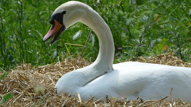 Swan, Breed, Swan's Nest, Nature, Waterfowl