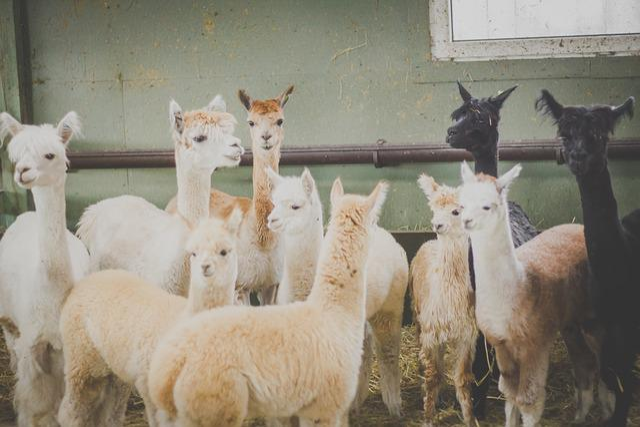 Animals, Agriculture, Alpaca, Beige, Black, Breeding