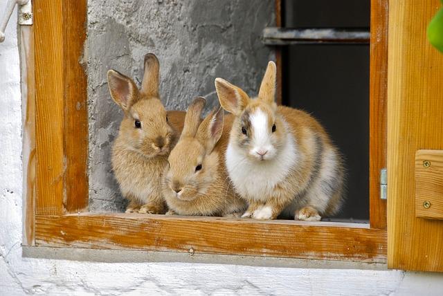 Rabbit, Farm, Window, Cute, Breeding Bull, Furry