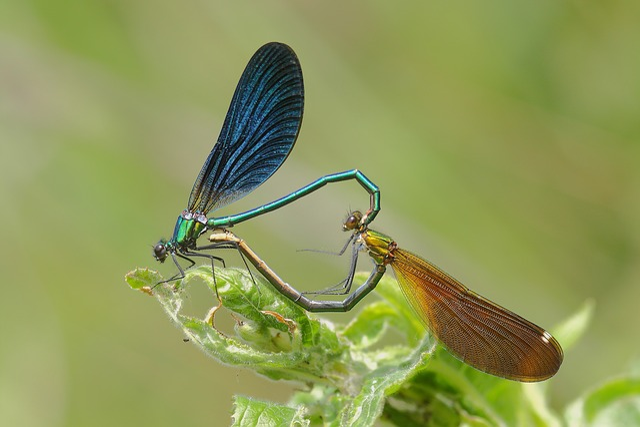 Dragonflies, Bridesmaids, Coupling