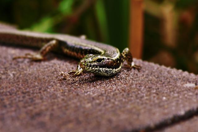 Lizard, Eastern Water Skink, Bridge