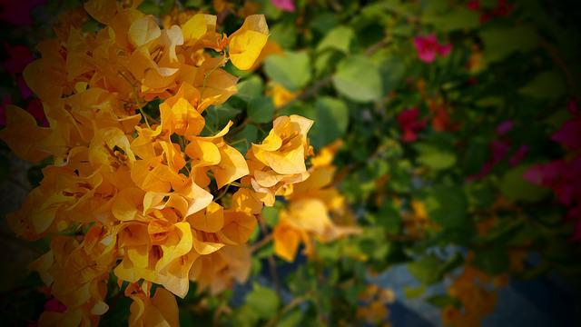 Beautiful, Bougainvilleas, Bright, Close-up, Color
