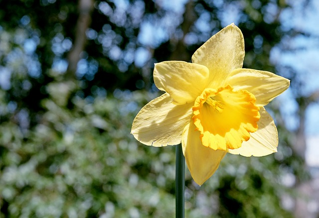 Daffodil, Blossom, Bloom, Yellow, Flower, Bright