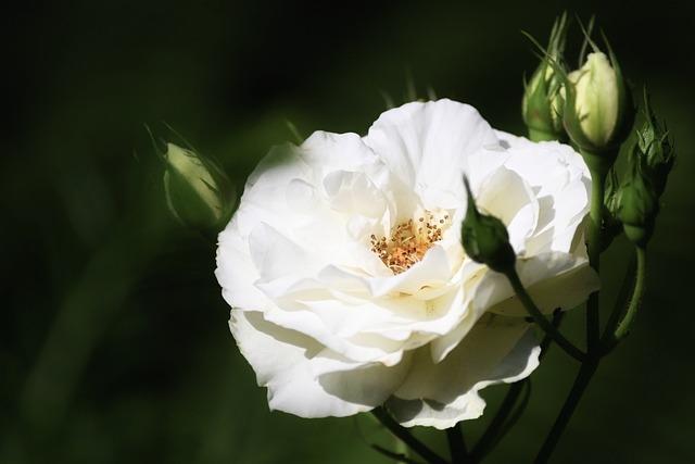 Rose, Bright, White, Flower, Blossom, Bloom, Rose Bloom