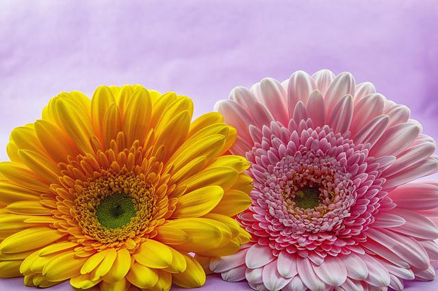 Flower, Gerbera, Plant, Nature, Flowers, Bright, Pink