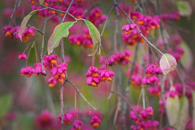 Spindle, Autumn, Bush, Fruits, Bright, Berries, Pink