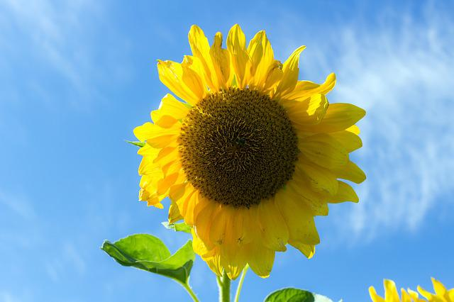 Sunflower, Summer, Sky, Plant, Closeup, Bright, Flower