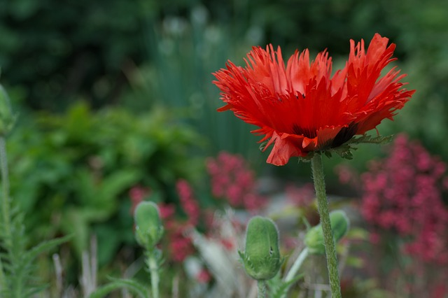 Poppy Flower, Close, Red, Bright