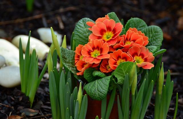 Primroses, Garden, Spring, Bloom, Bright, Primula