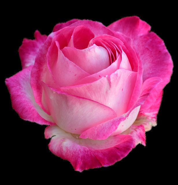 Rose, Bright Rose, Rose Png