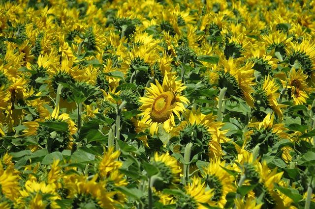 Sunflower Field, Sunflower, Bright, Sunny, Yellow