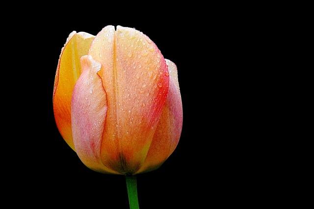 Flower, Nature, Tulip, Bright