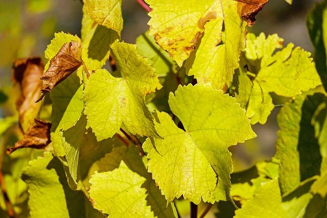 Wine Leaf, Leaf, Bright, Vine, Autumn Color, Climber