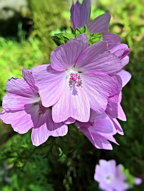 Flower, Mallow, Flowers, Pink, Violet, Bright