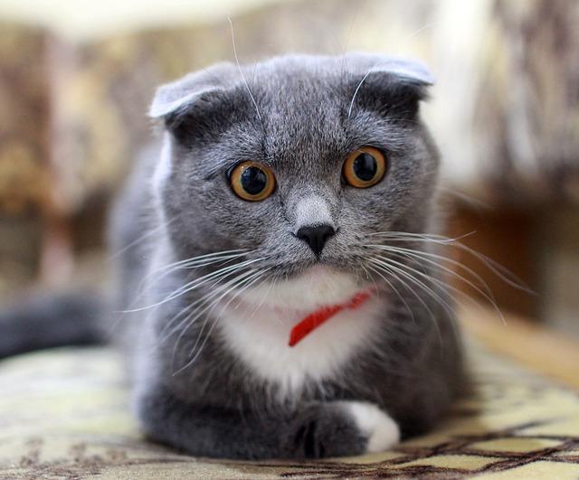 Cat, British, British Cat, Pets, Kitten, Pet, Grey