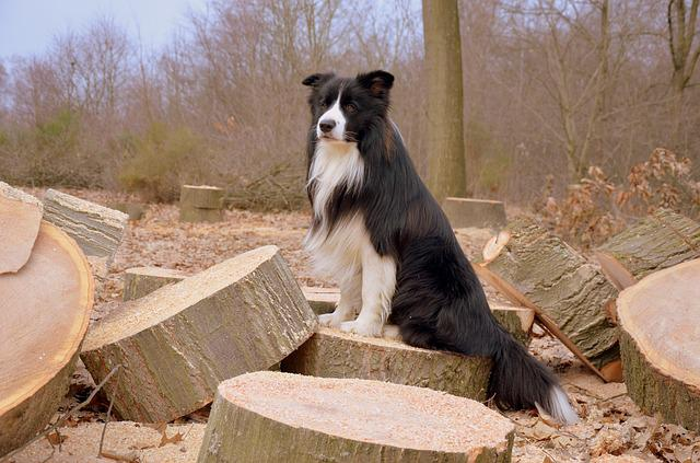 Dog, Border Collie, British Sheepdog, Herding Dog