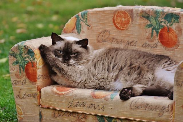 Sofa, Couch, Cat, British Shorthair, Thoroughbred, Fur