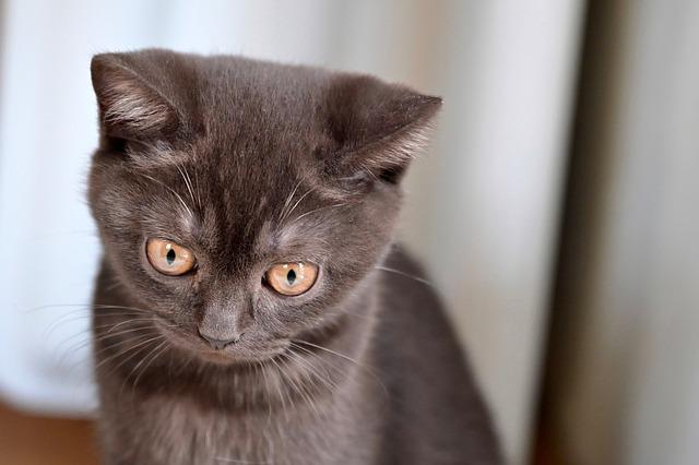 British Shorthair, Cat, Kitten, Pet, Cute, Eyes