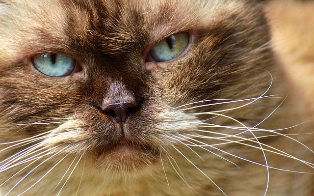 British Shorthair, Cat, Cute, Portrait, British