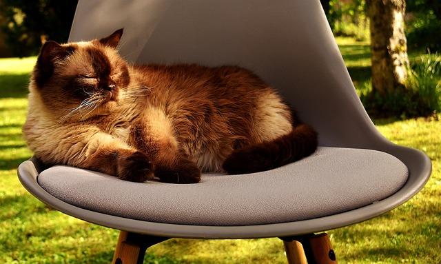 British Shorthair, Cat, Domestic Cat, Beautiful