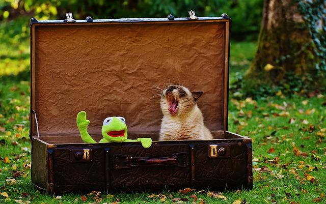 Kermit, Luggage, Antique, Cat, British Shorthair, Funny