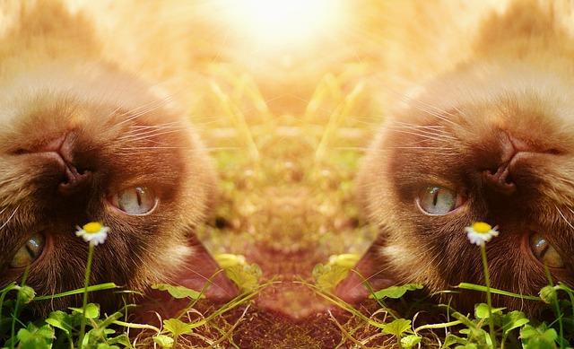 Cat, British Shorthair, Thoroughbred, Fur, Brown