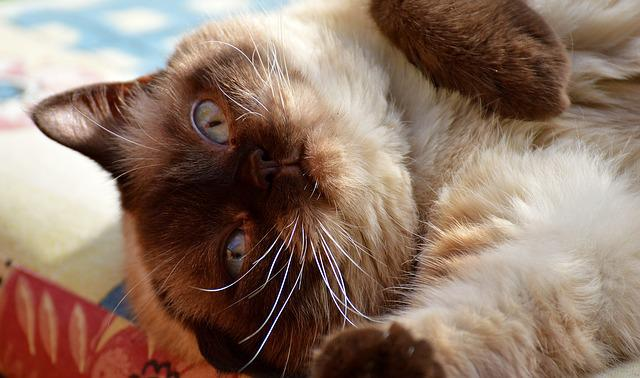 British Shorthair, Cat, Pet, Mieze, Adidas