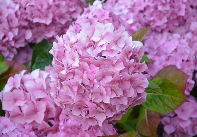 Flowers, Hydrangea, Pink, Brittany, Plant, Garden
