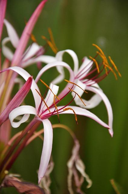 Hymenocallis, Spider, Lily, Flower, Brochure