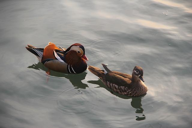Mandarin Duck, Brooks, Not Ducks, Pairs