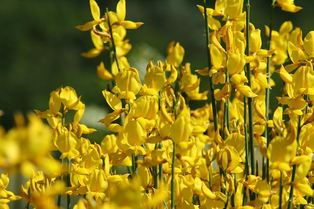 Broom, Yellow, Blossom, Bloom, Toxic, Gorse Blossom