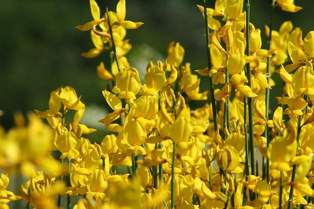 Broom, Yellow, Blossom, Bloom, Toxic, Gorse Blossom
