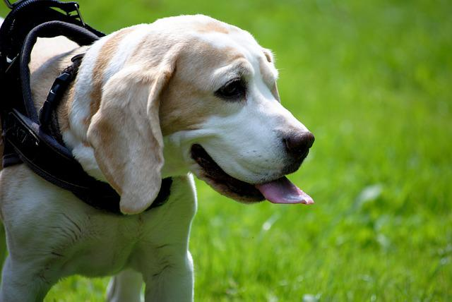 Dog, Beagle, Pet, Close, Brown, Out